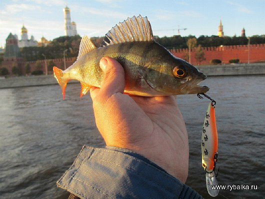 Какую рыбу можно поймать в москве-реке